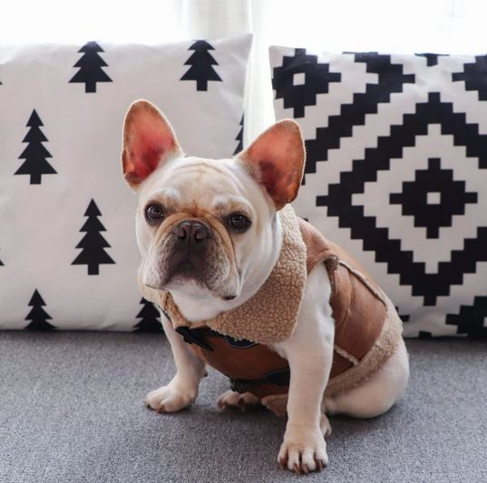 french bulldog jacket 1