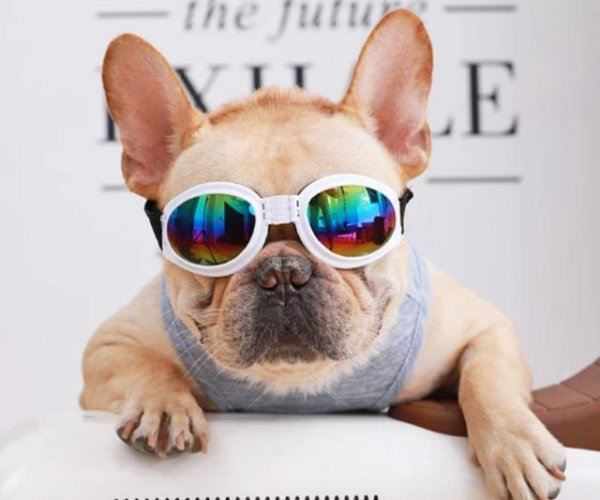 glasses for french bulldog