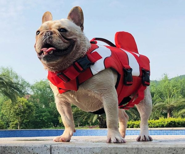 life jacket french bulldog